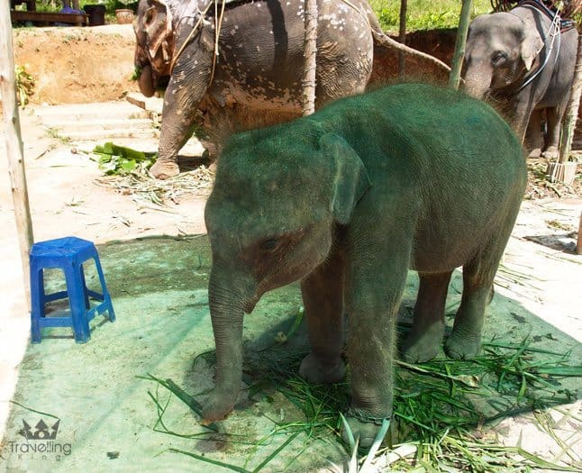 Baby Elephant near Big Buddha in Phuket