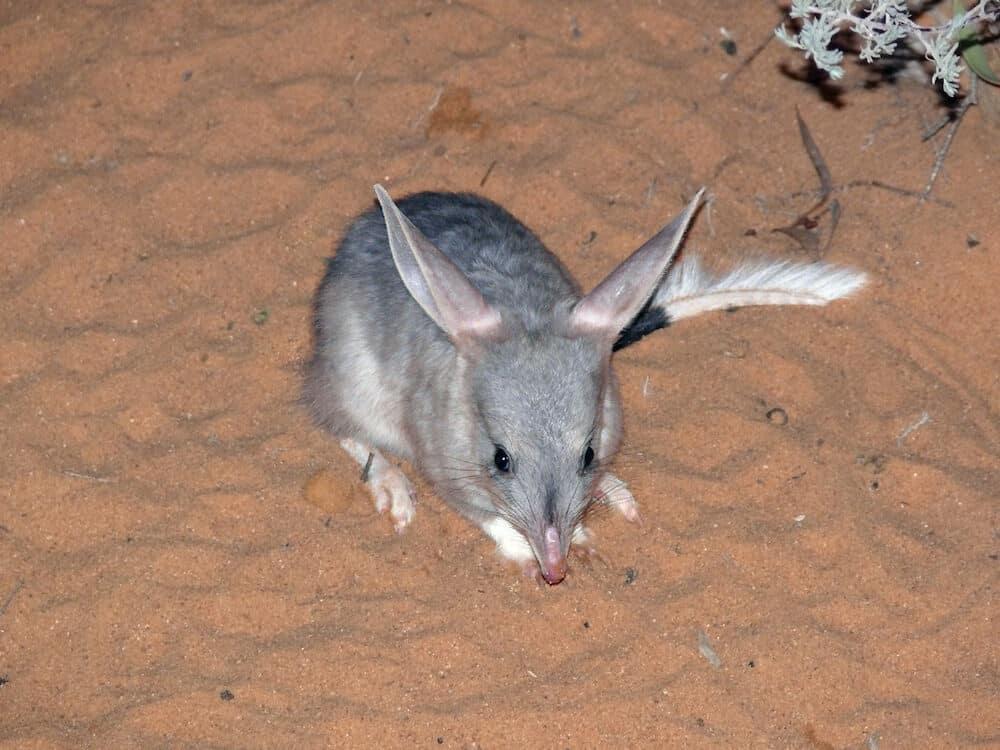 bilby is an endangered animal in Australia