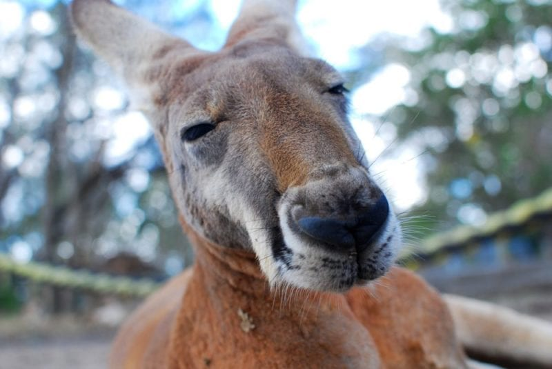 What to do if you hit a Kangaroo on Australian Roads