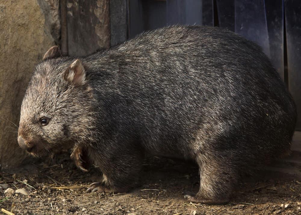 Common wombat (Vombatus ursinus). Wild life animal.