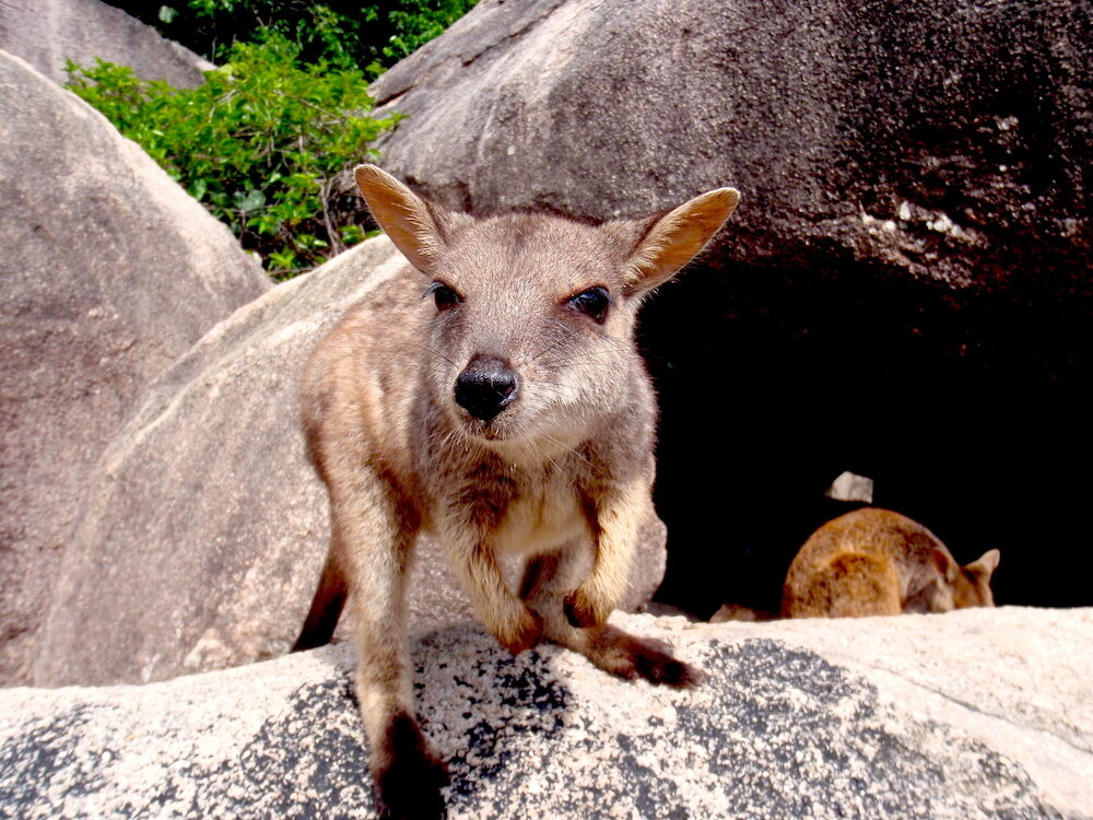 Cute Wallaby on a boulder at Magnetic Island, far north Queensland, Australia