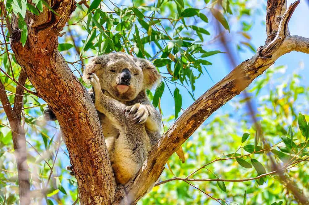 Sleepy koala scratching itself in Magnetic Island Queensland Australia