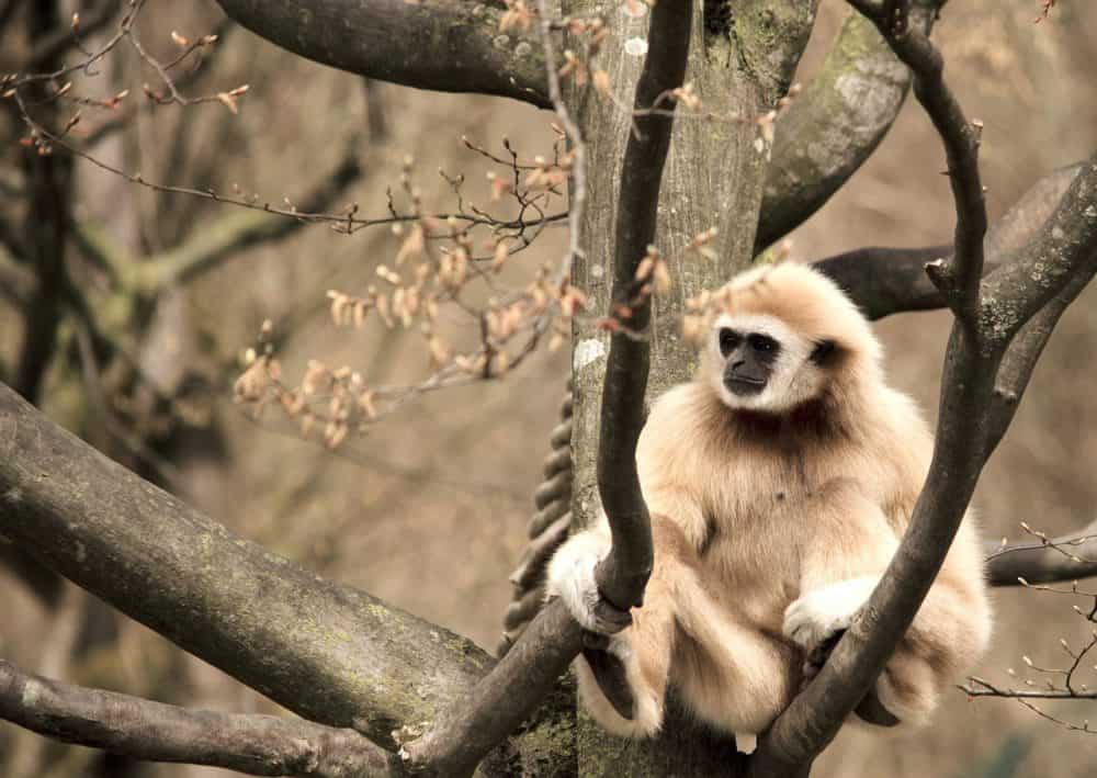 gibbon in Thailand