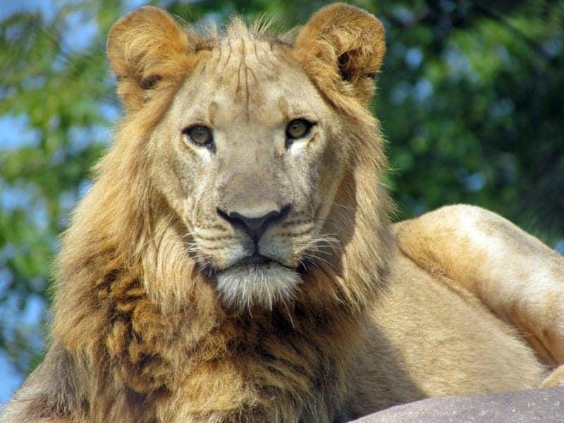 african_lion_seneca_park_zoo