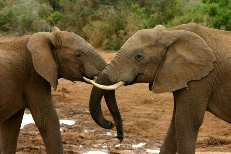 elephant_mating_ritual_4