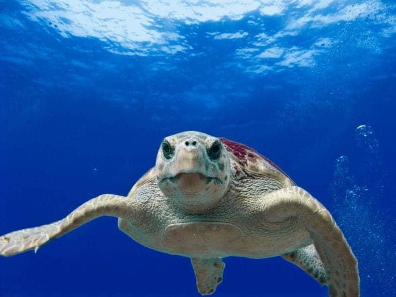 loggerhead-turtle-123402_1280