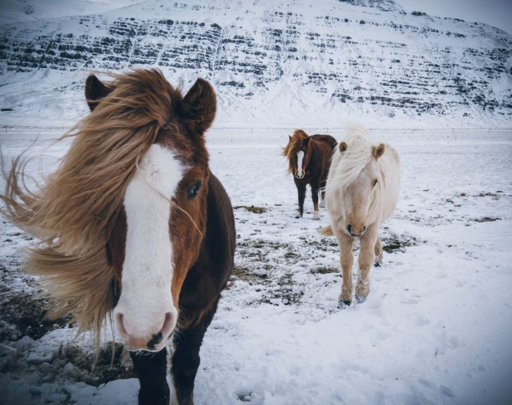 Horses - golden circle iceland - 15 Remarkable Things to see and Do in Iceland