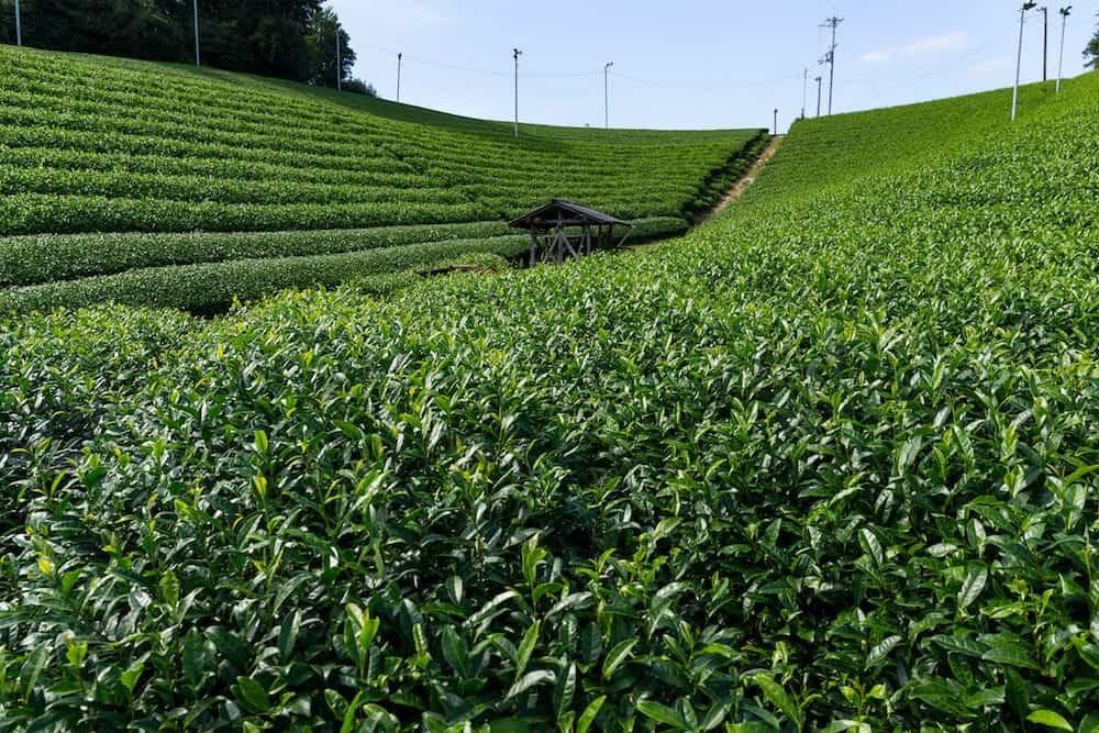 Tea plantation highland