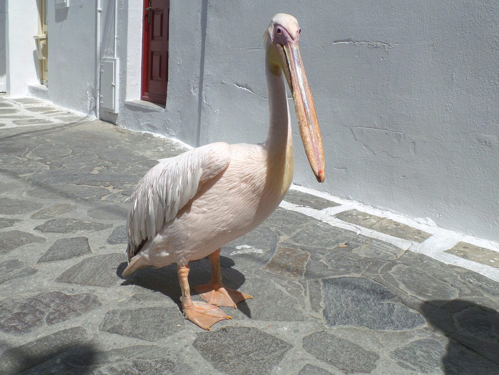 Petro or Peter the Pelican, Famous Pelican of Mykonos Town, Mykonos Island, Greece