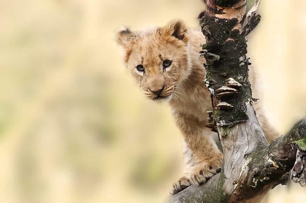 Smal Lion in Tanzania