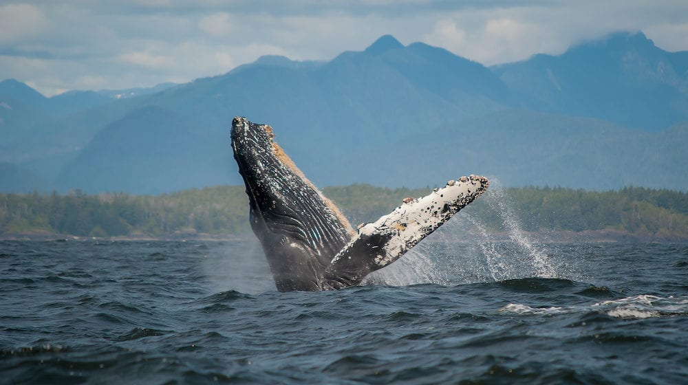 A breaching Humpback Whale at tofino, Vancouver Island.