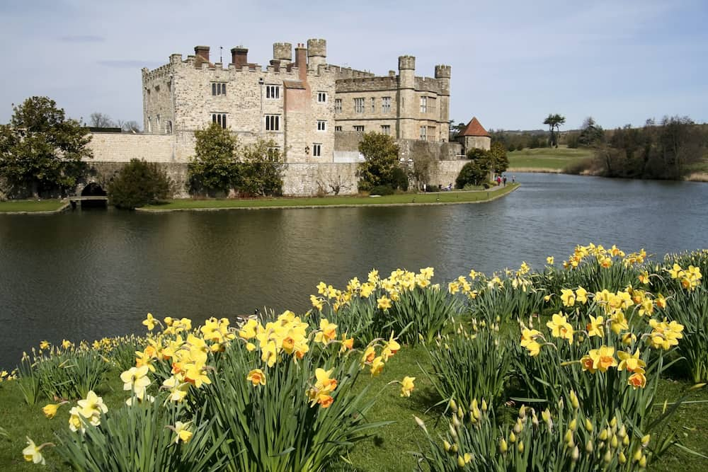 bright yellow spring daffodils on the banks of leeds castle moat in kent england