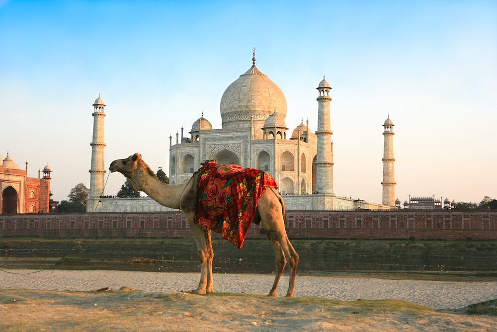 Camel in front of Taj Mahal in sunset , Agra , India