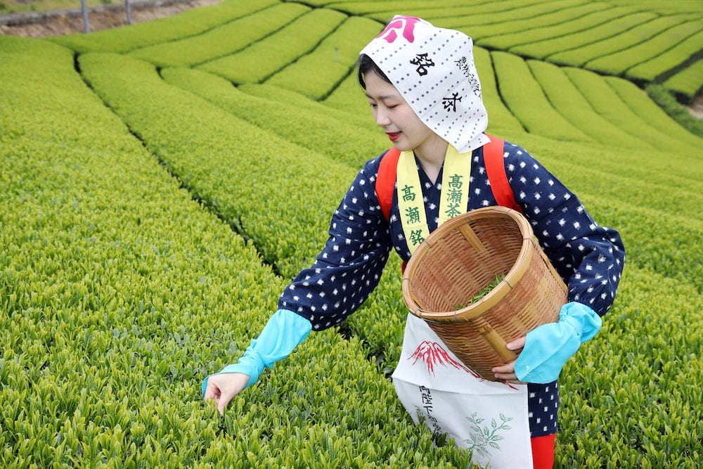 KAGAWA, JAPAN - Young japanese woman with traditional clothing kimono harvesting green tea leaves on farmland of tea plantation in Mitoyo Kagawa, Japan.