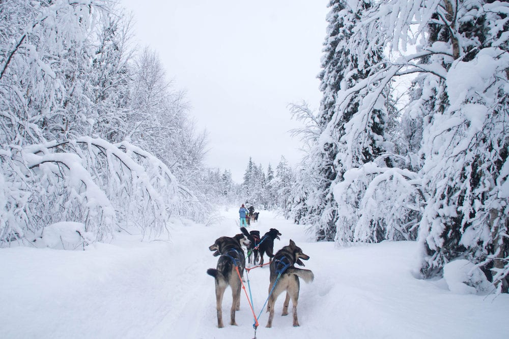 A winter activity in Rovaniemi, Finland - husky sledding/husky safari.