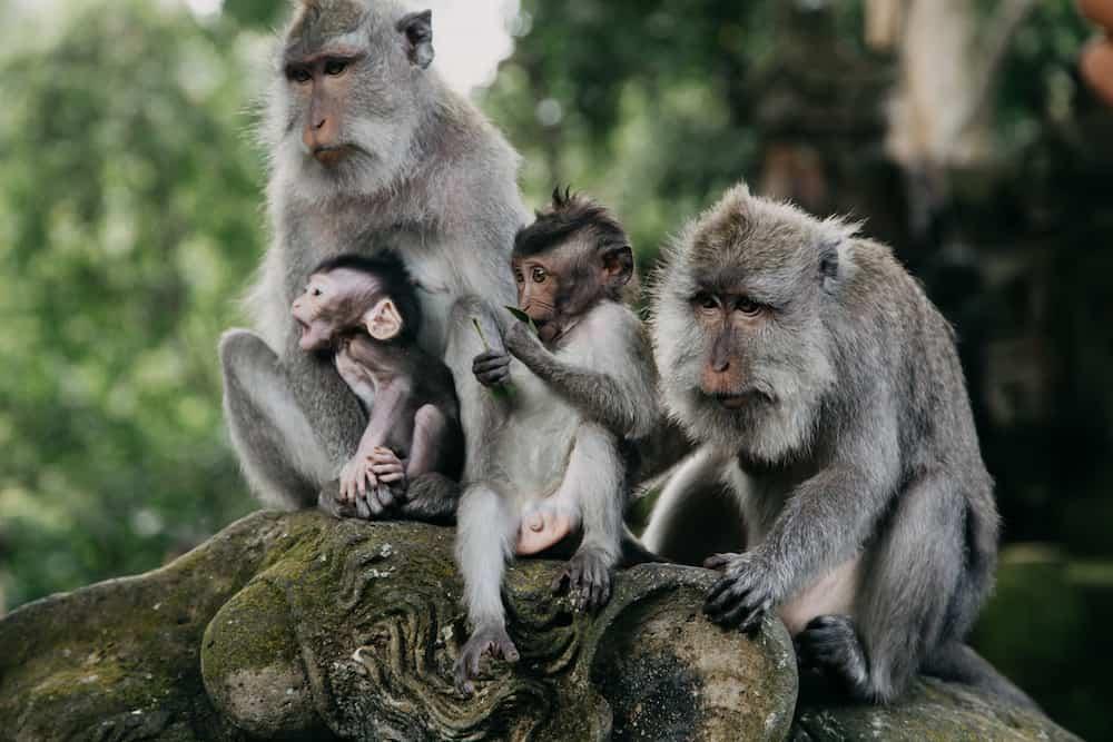 Monkeys in Ubud Sacred Monkey Forest. Bali Indonesia