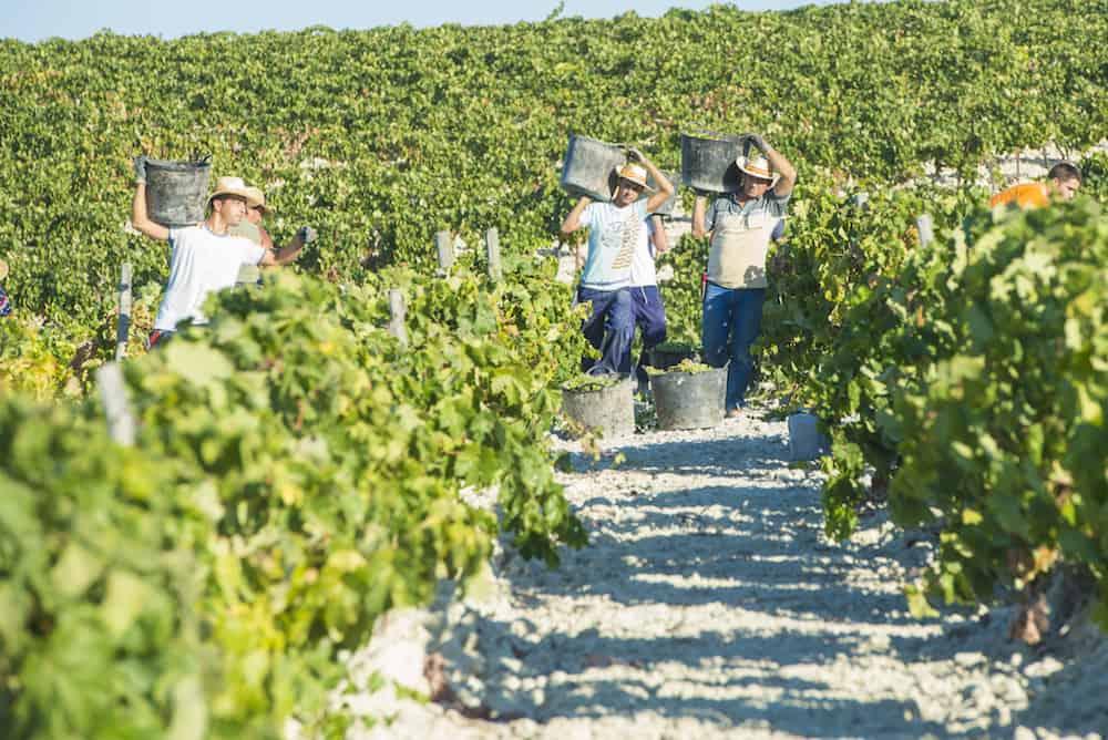 JEREZ DE LA FRONTERA SPAIN -People doing manually harvest of white wine grapes in Jerez de la frontera