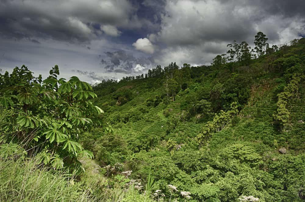 Coffee grows on a terraced hillside in Costa Rica.