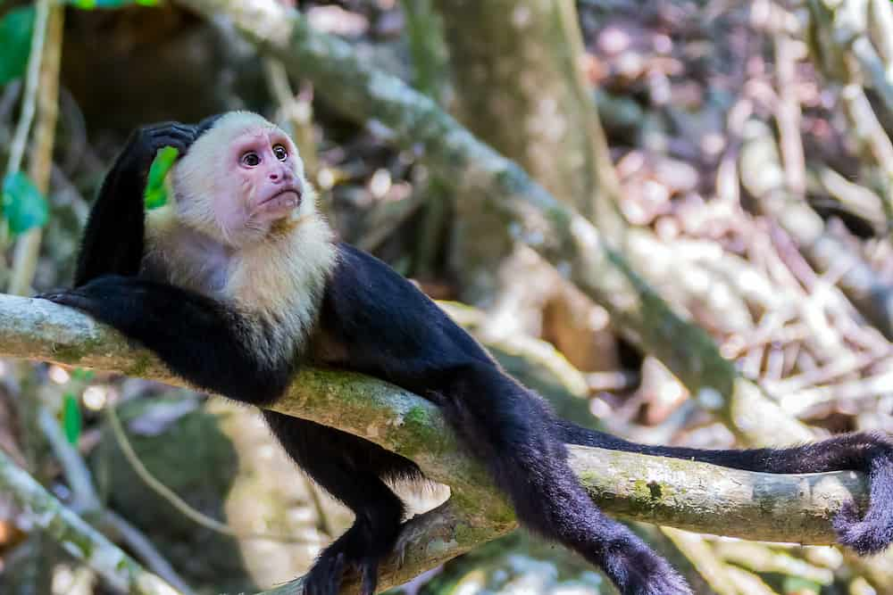 White-headed capuchin monkey resting in National Park