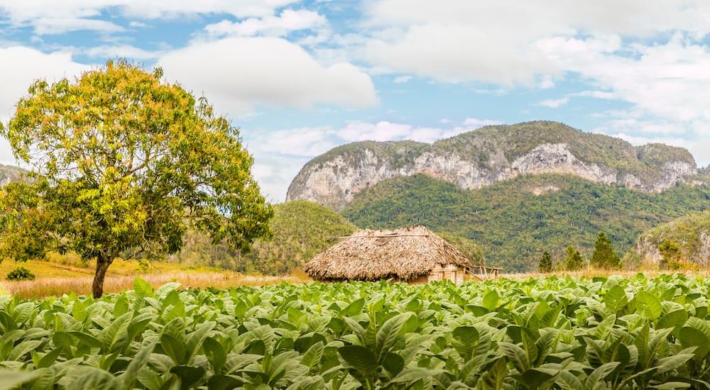 Vinales Valley, Pinar del Rio, Cuba. A view of a tobacco plantation and the countryside in Vinales Valley in Cuba.