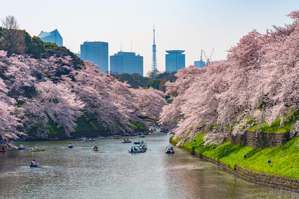 Cherry blossoms around Chidorigafuchi Park, Tokyo, Japan. The northernmost part of Edo Castle is now a park name Chidorigafuchi Park. People boating and enjoy at sakura cherry blossom at Chidorigafuchi Park.