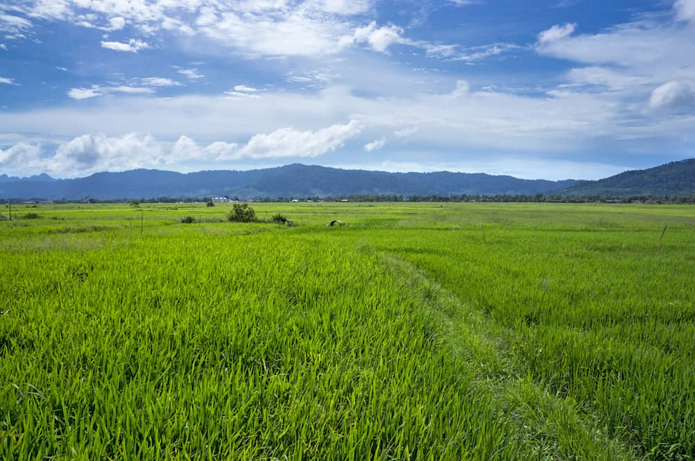 Panorama view of paddy field in Langkawi Malaysia