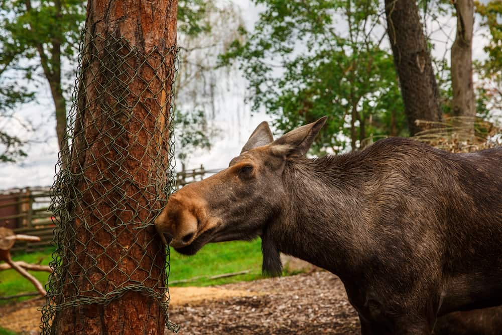 Moose at Skansen, the first open-air museum and zoo, located on the island Djurgarden in Stockholm, Sweden.