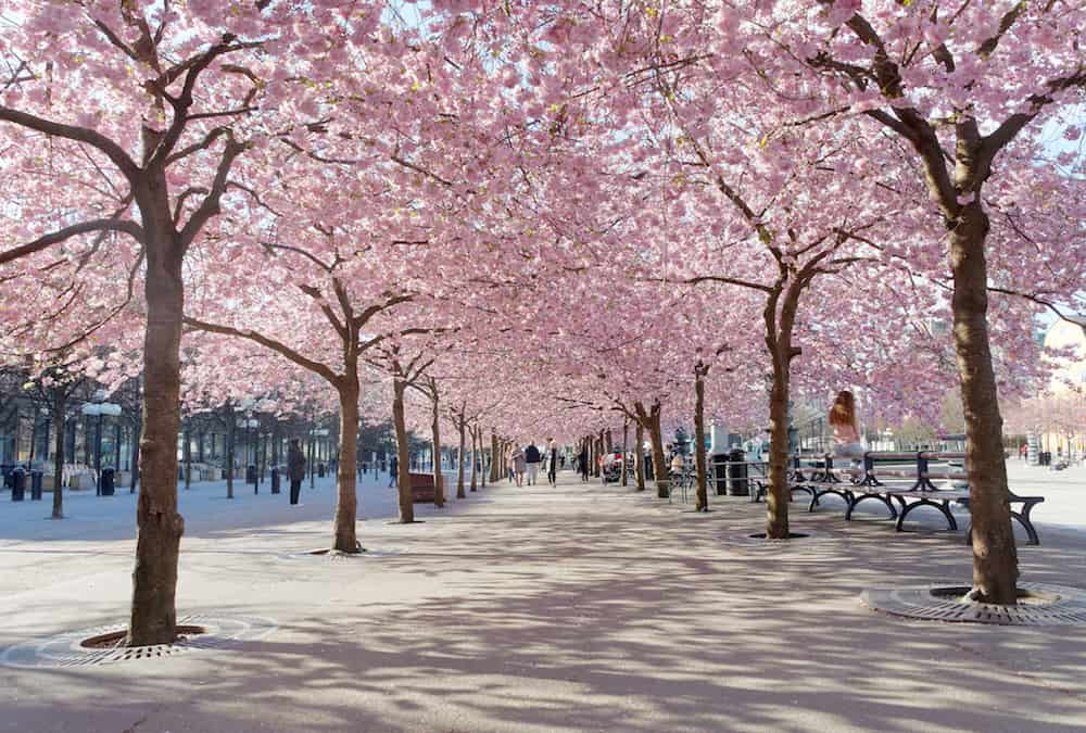 STOCKHOLM SWEDEN - The public park Kungstradgarden with beautiful blooming cherry tree avenue and distant people