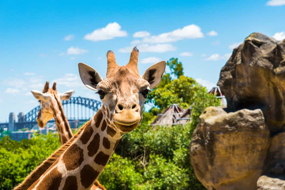 Sydney Australia - : Girraffe at Taronga Zoo in Sydney with Harbour Bridge in background. Taronga Zoo is the city zoo of Sydney and is located on the shores of Sydney Harbour