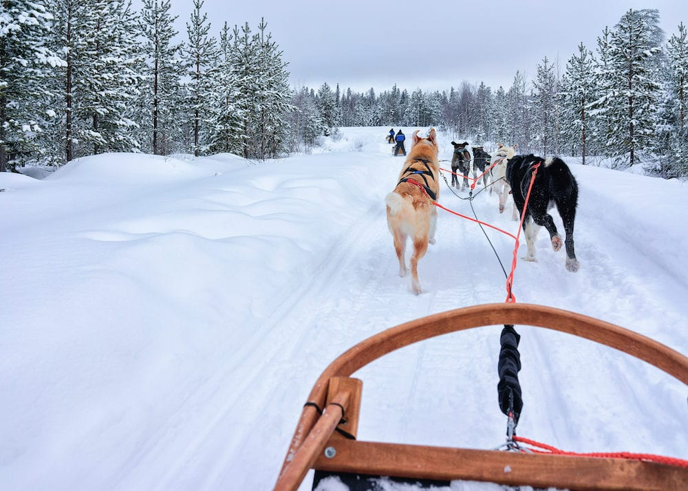 Husky dogs in sledding at Rovaniemi forest in winter Finland Lapland