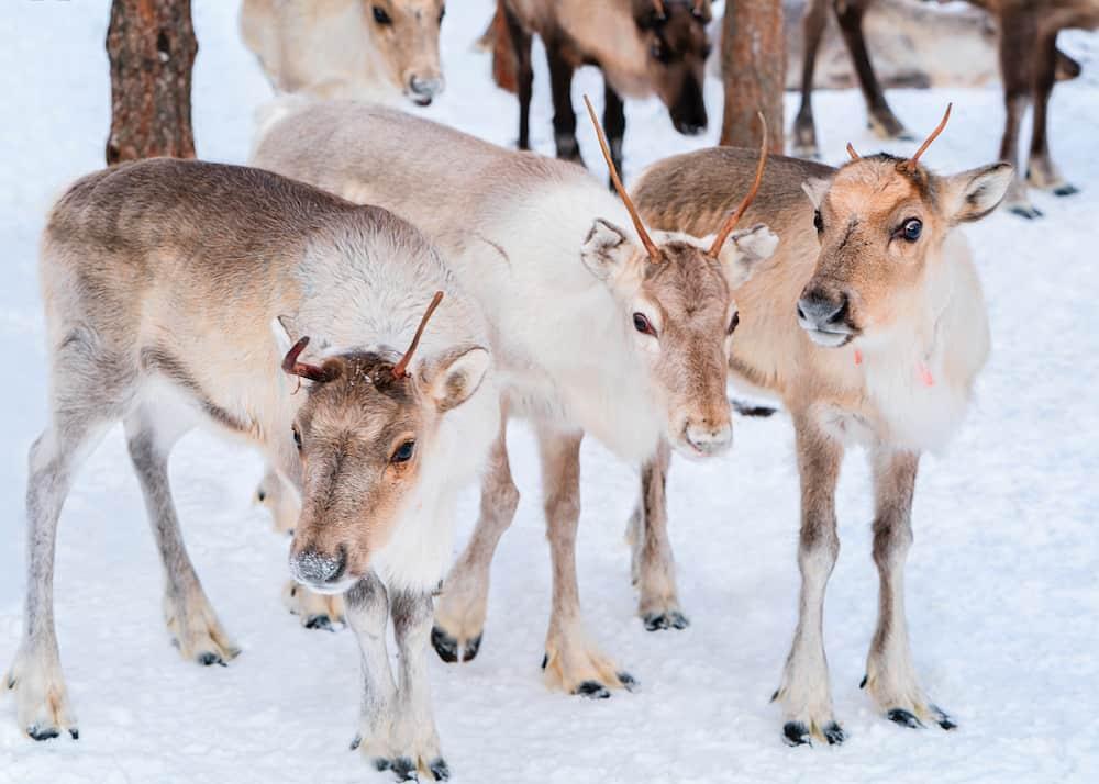 Reindeers at farm in winter Lapland Rovaniemi of Northern Finland