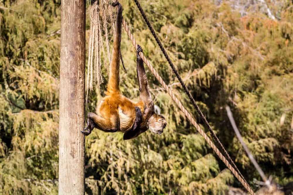 JERUSALEM, ISRAEL - Brown spider monkey hanging on a rope in Biblical Zoo in Jerusalem, Israel