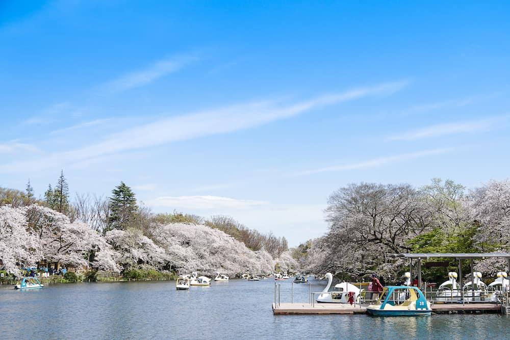 Tokyo Japan -: Visitors riding swan boats and enjoying the cherry blossom (sakura) in Inokashira Park Tokyo