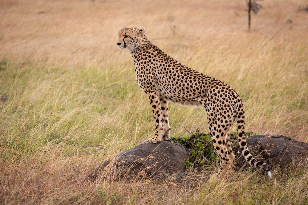 Cheetah standing on rock looking for prey