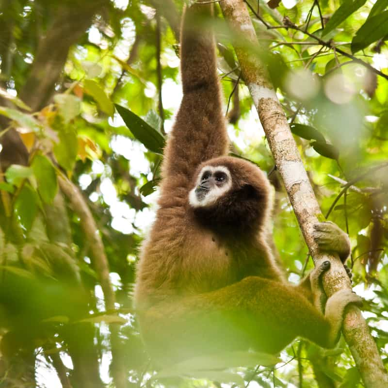 Male white-handed gibbon eating leaves in the jungles of Phuket Thailand.