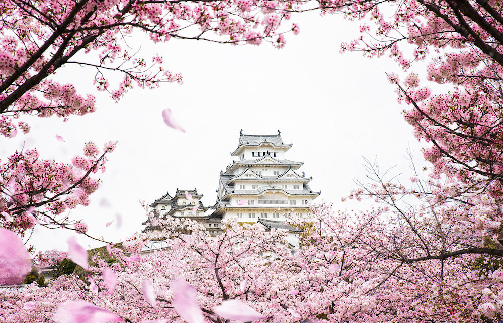 Himeji Castle with frame of While Cherrry Blossoms Viewing Festival, Kyoto Japan, this immage can use for asia, travel, japan, japanese and kyoto concept