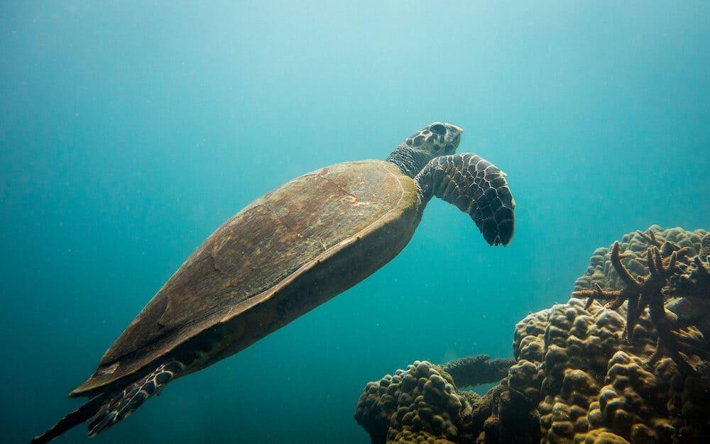 Sea Turtle near Salang beach, Tioman Island, Malaysia