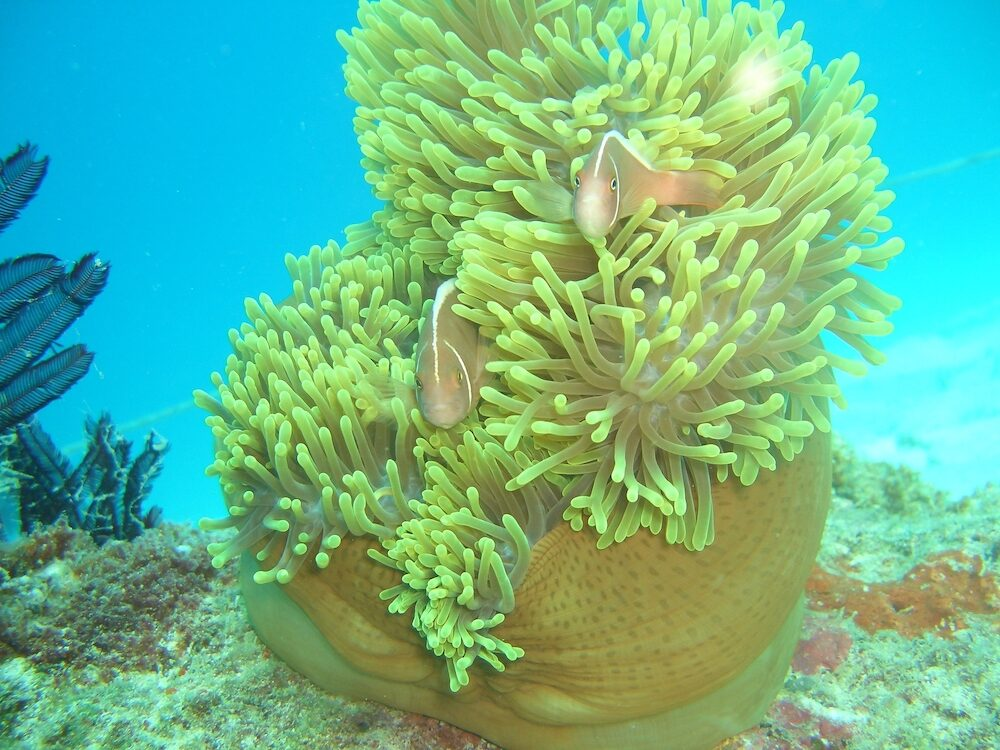 These pink anemonefish were taken in Tioman, Malaysia.