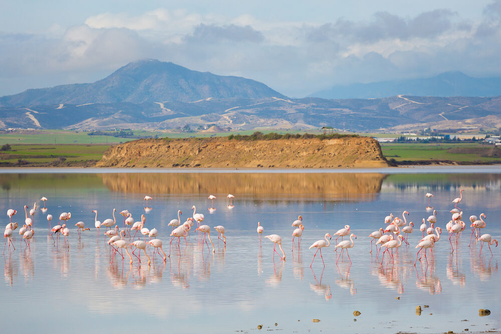 Beautiful Akrotiri salt lake full of pink flamingos birds close to Larnaca. Landscape with fauna taken on Cyprus island.