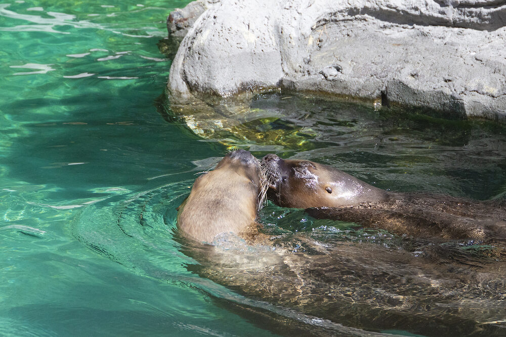 closeup of couple of cute kissing sea lions (seal) in the blue water