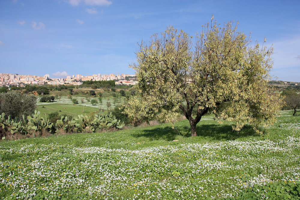 Agrigento in Sicily island Italy. Autumn flowers and lonely tree with the city in background. View from Valle dei Templi.