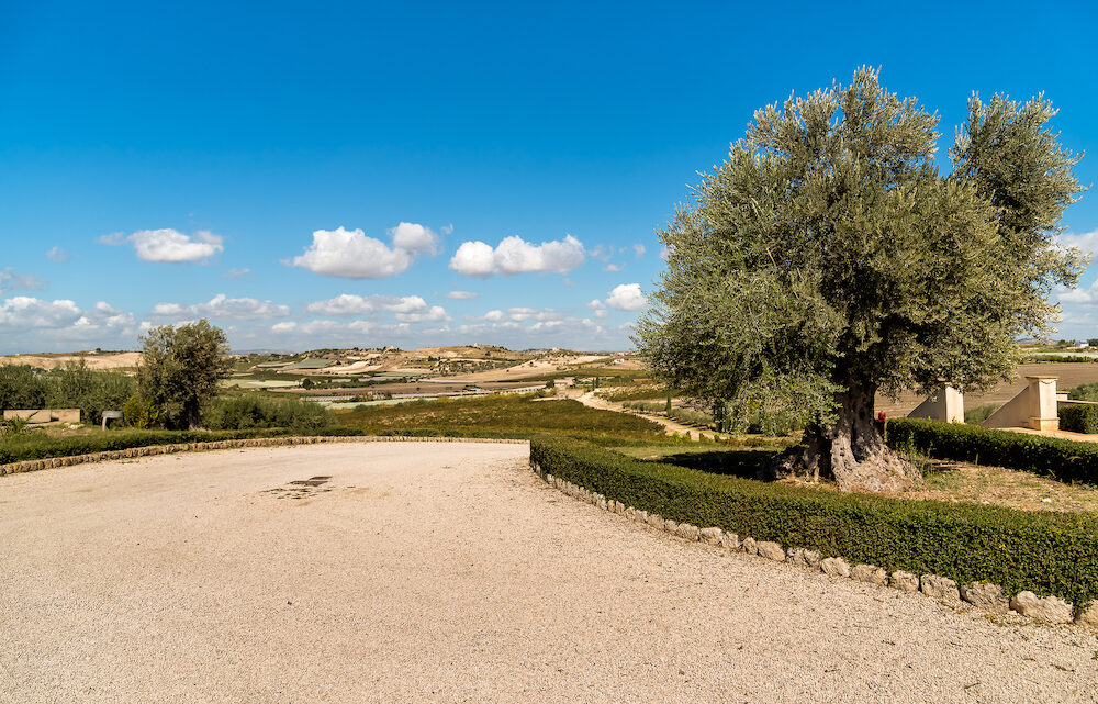 Ancient olive tree with Sicilian countryside landscape in background.