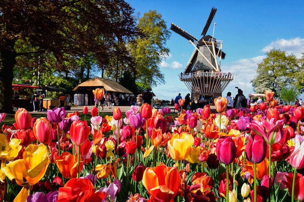 KEUKENHOF, NETHERLANDS - Blooming pink tulips flowerbed in Keukenhof garden, aka the Garden of Europe, one of the world largest flower gardens & windmill & tourists. Lisse, Netherlands
