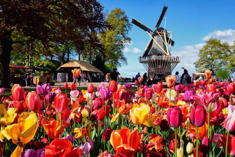 KEUKENHOF, NETHERLANDS - Blooming pink tulips flowerbed in Keukenhof garden, aka the Garden of Europe, one of the world largest flower gardens & windmill & tourists. Lisse, Netherlands