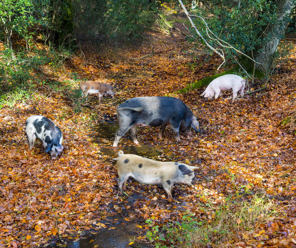 A family of pigs hunt for food in a stream in the New Forest