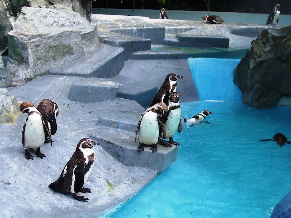 Penguins are polar birds. In Cologne's ZOO you can see them.