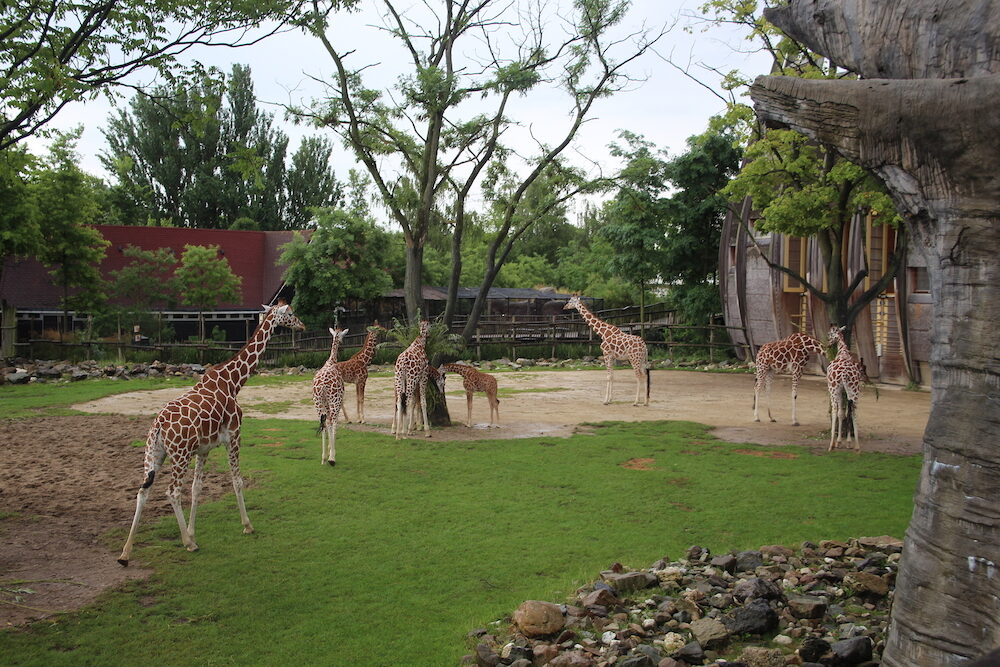 Group of Giraffes at Blijdorp zoo in Rotterdam