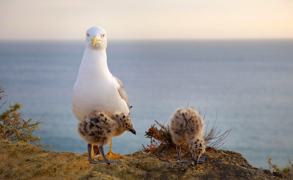 Family of mother seagull and her two chicks on the sea on a rock. Seagull chick snuggles up to his mom. Location Portimao, Algarve, Portugal.
