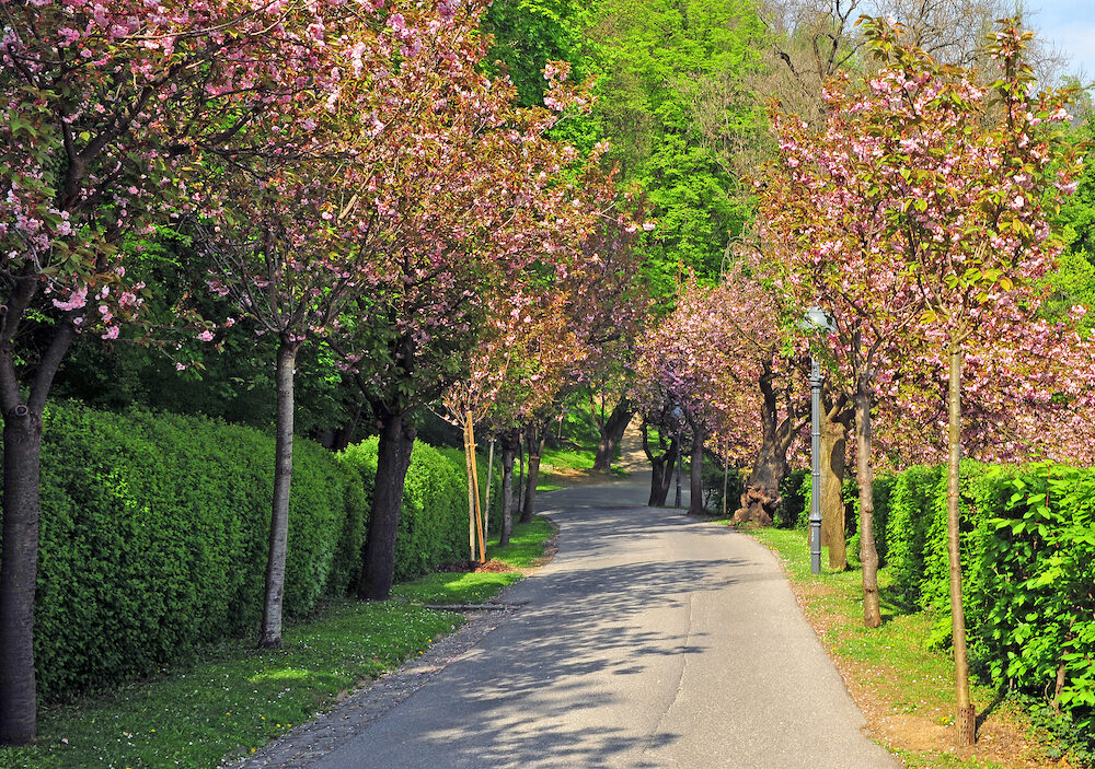 Pink trees in the city park of Graz Austria