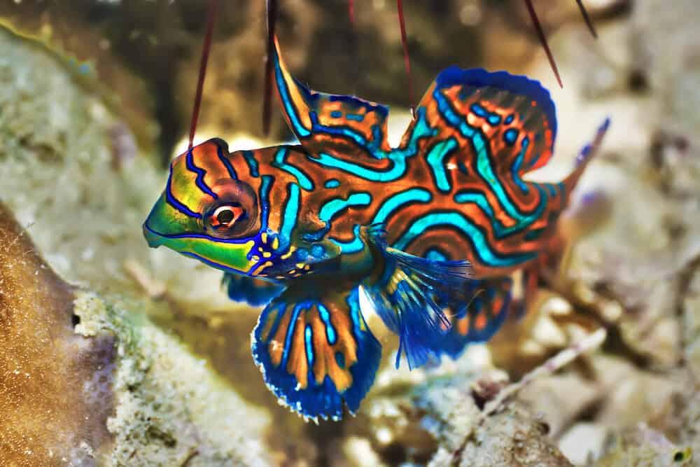 Small tropical fish Mandarinfish close-up. Sipadan. Celebes sea